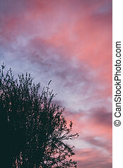 pink sunset sky with beautiful clouds over callistemon tree ...