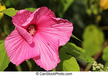 Beautiful pink Swamp Rose-Mallow (H. moscheutos) with green foliage background.