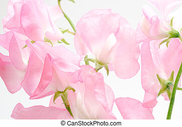 Pink sweet pea - Close up of light pink sweet pea flowers
