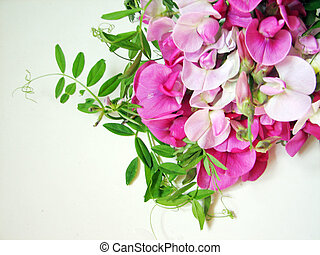 Pink sweet pea with copy space for background image