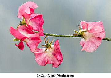 Pink Sweetpea - Pink Flowers of a Sweetpea PLant on a Blue...