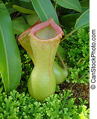 Pink Tinged Carnivorous Plants in Rain Forest Setting
