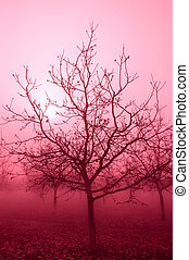 Soft Passionate Pink Tone Silhouette Sunrise Through a Grove of Bare Walnut Trees in Fog