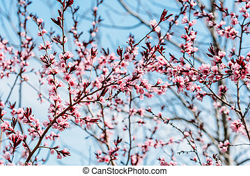 Pink Tree Flowers Blossom Close Up In Spring
