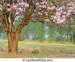 Pink trumpet blossom tree in full bloom