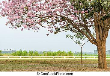 Pink trumpet blossom tree in green farm