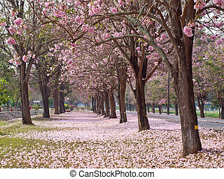 Pink trumpet tree blooming in countryside with road(Tabebuia...