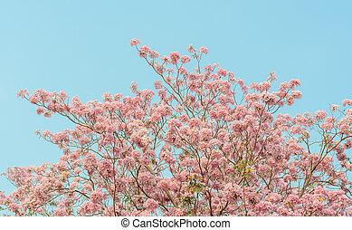 Pink trumpet tree in full bloom