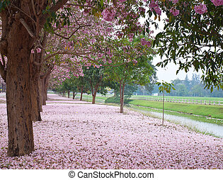 Pink trumpet tree blooming in countryside with farmland on...