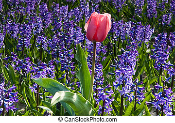Pink tulip and purple hyacinths