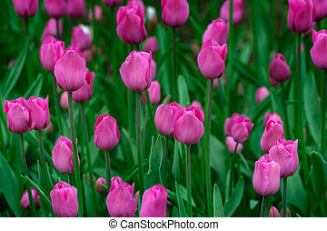 Pink tulip buds with fresh green leaves in soft light on blur background. Holland tulip flowers in the park in spring. Macro