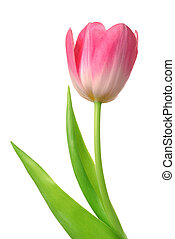 Pink tulip flower. Isolated on white background