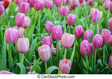 Pink tulip flowers field
