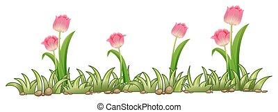 Pink tulip garden on white background