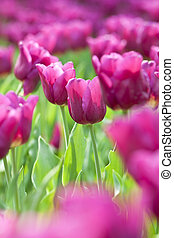 Pink tulip in spring time