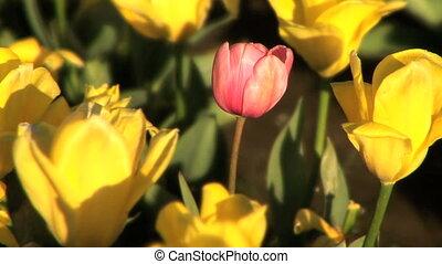 Pink Tulip in Tulip Field - Single pink tulip among yellow...