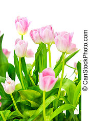 Pink tulip on a white background.