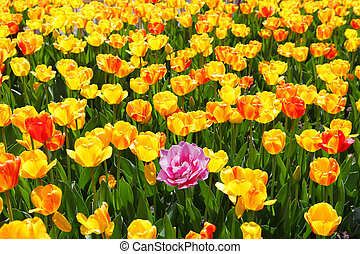 Pink Tulip on the Field