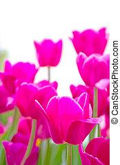 pink tulip on white background