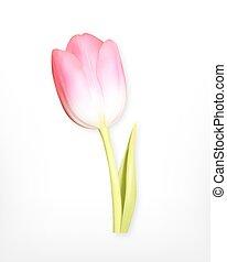 Pink tulip. Spring flower