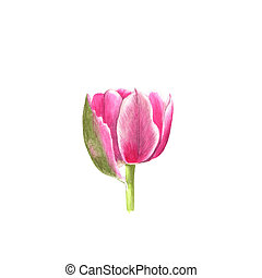 Pink tulip watercolor isolated on white background