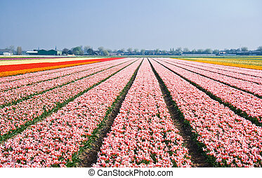 Pink tulipfields in spring