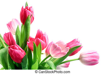Beautiful pink and white tulips (Tulipa) on white background