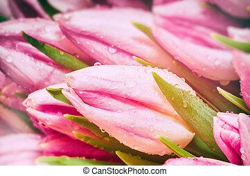 Pink tulips closeup