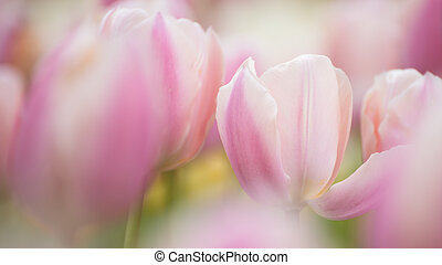 Pink tulips. Colorful tulips in spring season