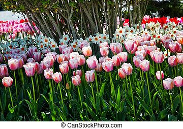 Pink Tulips Daffodils Flowers Skagit Valley Washington State