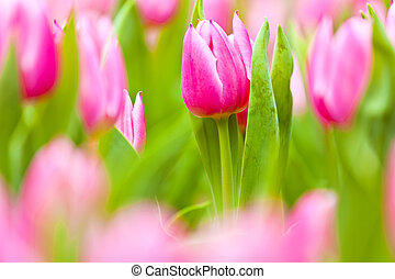 Pink tulips field in spring