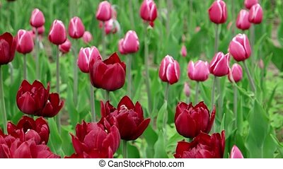 Pink tulips field in spring time, floral background