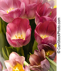 Pink tulips for the spring garden