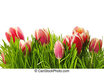 Pink tulips in a green grass