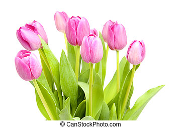 Pink tulips in closeup
