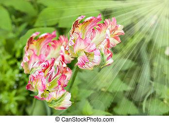 Pink tulips in garden with sun beam