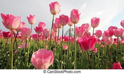 Pink Tulips in Woodburn Oregon - Pink Tulips in Wooden Shoe...