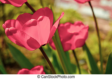 Pink tulips on a bright sunny day.