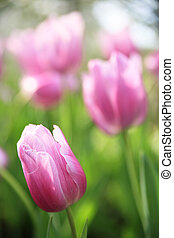 Pink tulips on a green background.