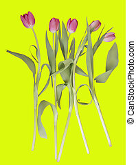 Pink tulips on a yellow background