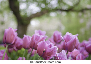 Pink tulips on the background of trees.