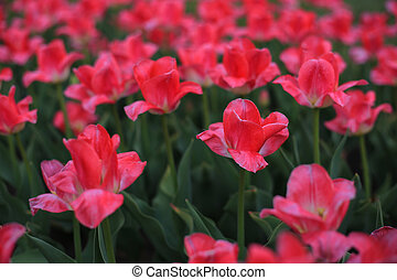 Pink tulips on the field