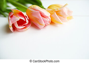Pink tulips on white background, copy space