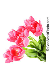 Pink tulips on white background