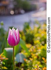 Pink Tulpan on green background