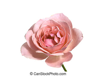 pink valentine rose single stem