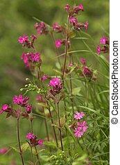 Pink Verbena Flower - Verbena in a forest