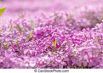 Pink violet tender phlox. Beautiful spring summer background