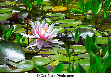 Closeup of a pink water lilly blossom in a pond