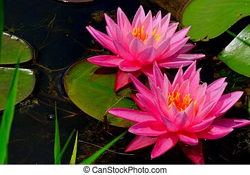 Pink Water Lilly floating in a pond.